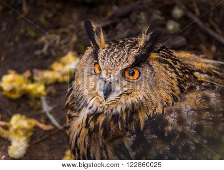 Beautiful big eagle-owl portrait. Predator bird portrait
