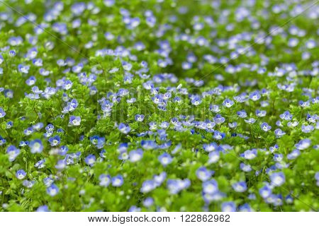 Veronica filiformis (Slender speedwell) in natural habitat.