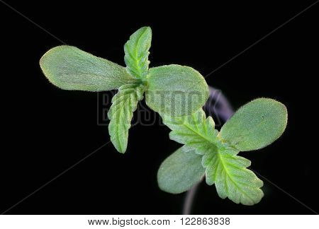Macro view of a little hemp sprout growing on a black background