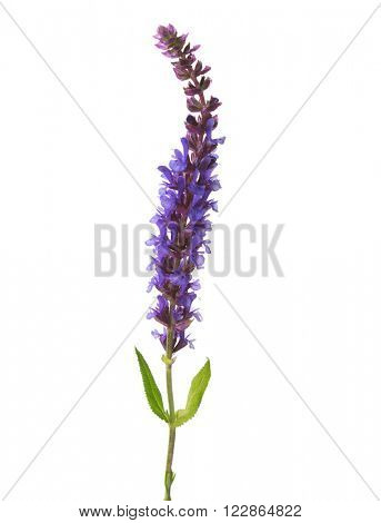 Flower of Meadow Sage  isolated on white background
