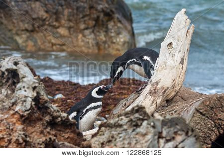 Penguin couple - a pair of Magellan Penguins rub beaks