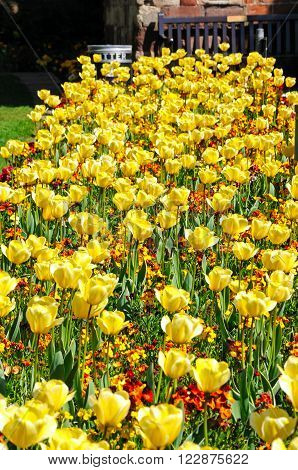 Pretty yellow tulips and Spring flowers Shrewsbury Shropshire England UK Western Europe.