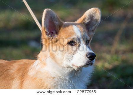 A short foxy dog on the walk. Photo of a cute animal