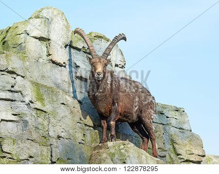 Alpine ibex standing on cliffs with blue skies in the background