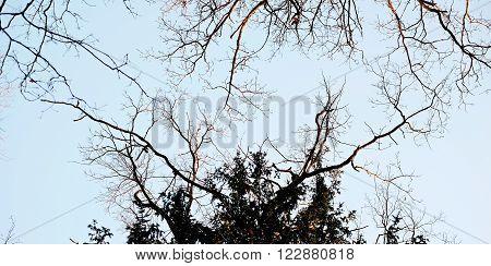 Oak Crones, Tree