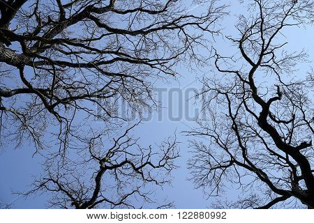 treetops of oaks without leaves in winter