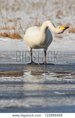 Whooper Swan On Ice
