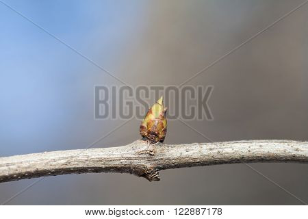 Macro View Tree Bud. Tree Branch Texture. Copy Space. Blue And Gray Background, Soft Focus, Shallow