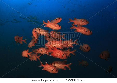 Fish school: Red Soldierfish