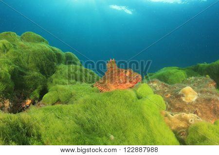 Scorpionfish on green seaweed