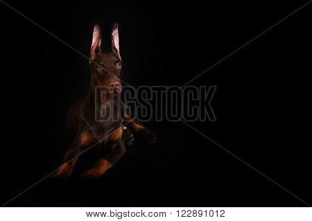 Young brown Doberman laying on a black background