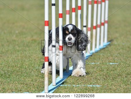 American Cocker Spaniel Doing Weave Poles at Dog Agility Trial
