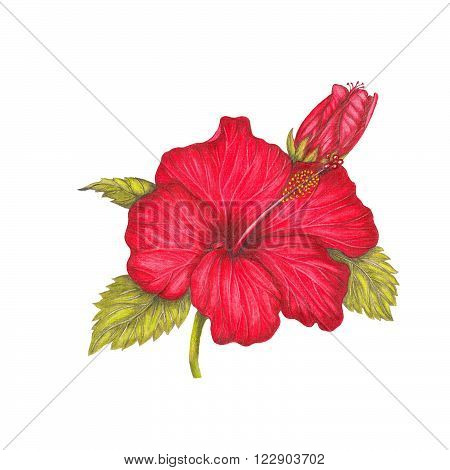 Pencil drawing illustration of red hibiscus on white background