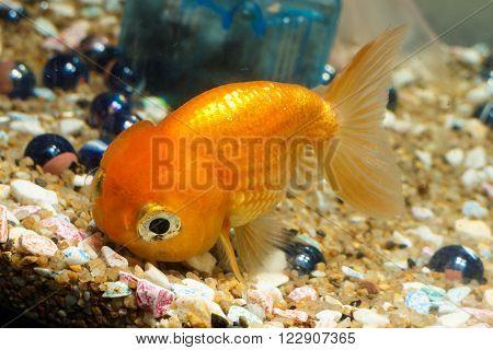 Goldfish in aquarium with stones and marble photo