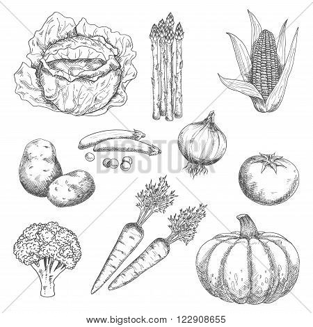 Farm vegetables stylized sketches for old fashioned recipe book or agriculture harvest design with tomato and onion, cabbage and carrot, pea and corn cob, broccoli and potato, pumpkin and asparagus