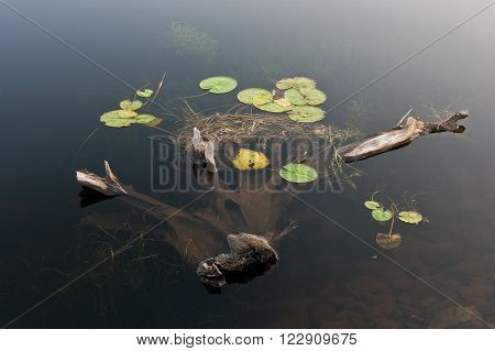 Partially submerged driftwood with lillypads, water lily.