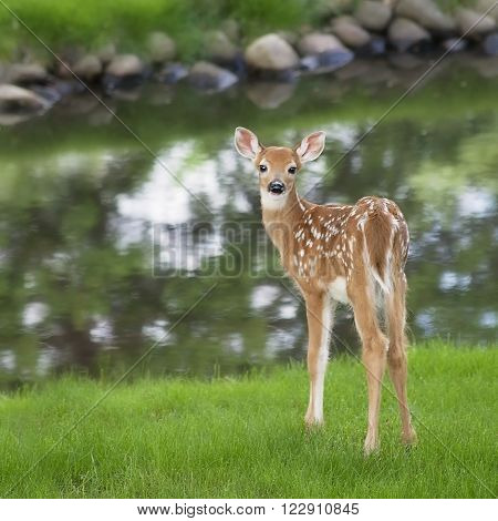 Square image of a white-tailed deer fawn standing near a pond, and looking over its shoulder.  Soft focus.