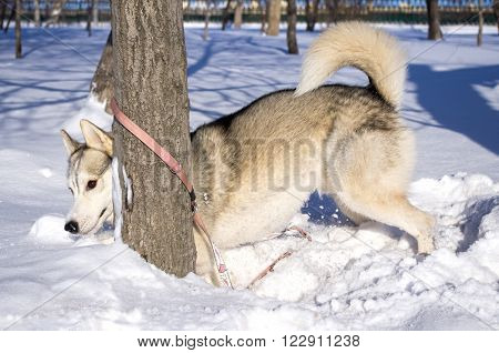 Sled dog fun playing hide and seek in the snow