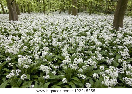 Field of white flowering ransoms in springtime