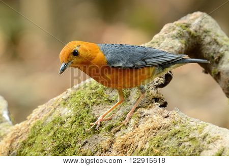 beautiful male Orange-headed Thrush (Zoothera citrina) in Thailand ** Note: Visible grain at 100%, best at smaller sizes