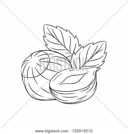 Hazelnut. Vector hand drawn illustration of hazelnut on white background - stock vector