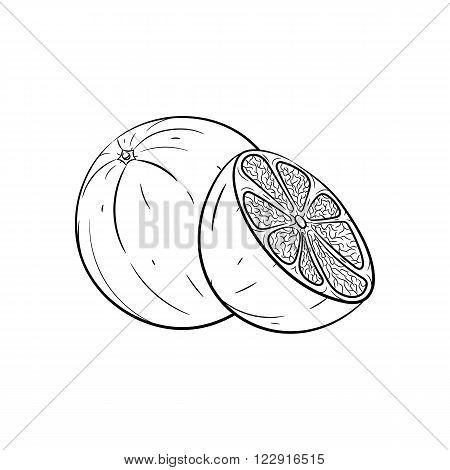 Orange. Vector hand drawn orange illustration isolated on white background - stock vector