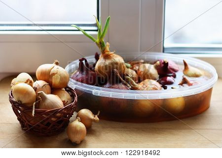 Sprouting onions on the windowsill at home. In the foreground is a wicker basket with an old bow. In the background the onion in a container with water. Onion young green arrow.