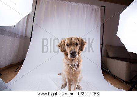 Studio photo shoot with a golden retriever model