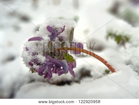 Birthwort flowers (Corydalis solida) close-up. Plant is covered with snow. It is a spring. ** Note: Shallow depth of field