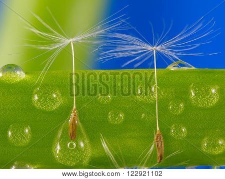 Dandelion seeds caught in water droplets on green grass. Horizontal view.
