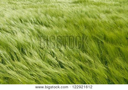 Close-up of green wheat field. Spickelets swing in the wind. Nature background. ** Note: Soft Focus at 100%, best at smaller sizes