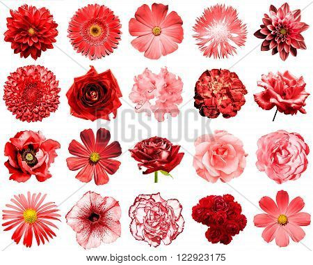 Mix collage of natural and surreal red flowers 20 in 1: peony, dahlia, primula, aster, daisy, rose, gerbera, clove, chrysanthemum, cornflower, flax, pelargonium isolated on white