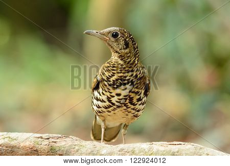 beautiful White's Thrush (Zoothera aurea) in Thai forest ** Note: Visible grain at 100%, best at smaller sizes
