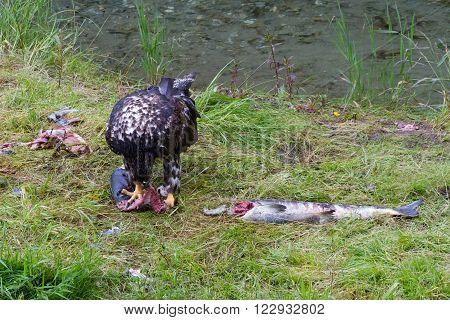 Bald eagle eating salmon fish at hyder Alaska ** Note: Visible grain at 100%, best at smaller sizes