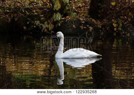 White Tundra Swan migratory bird close up