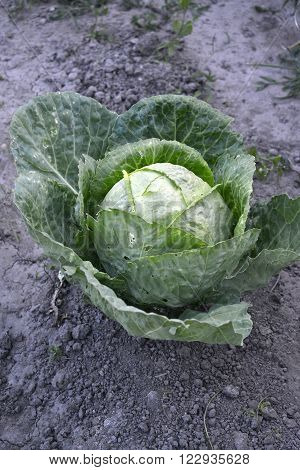 icture of a Pure organic cabbage growing in a vegetable garden