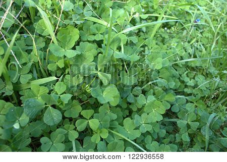 Background Wild Spring Trefoil Green Grass. Website Background Wild Nature Image with Green Spring  Trefoil  Grass