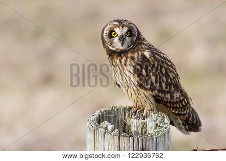 Short-eared Owl at Boundary Bay Delta BC Canada