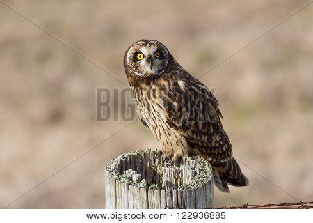 Short-eared Owl at Boundary Bay Delta BC Canada