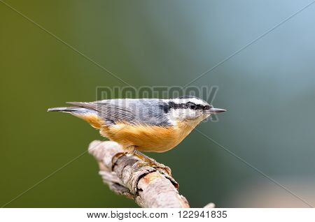 Red-breasted Nuthatch perched on a branch, with green background