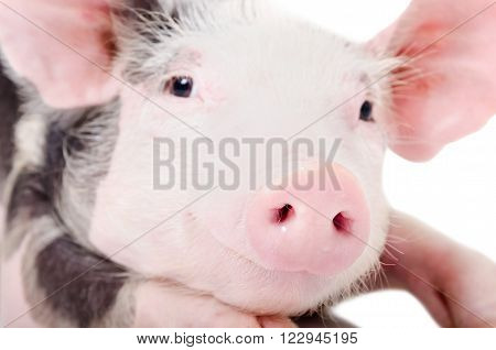 Portrait of a pig, closeup, looking at the camera, isolated on white background ** Note: Shallow depth of field