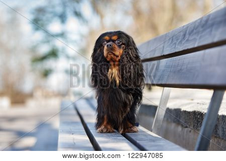 cavalier king charles spaniel dog posing outdoors in spring
