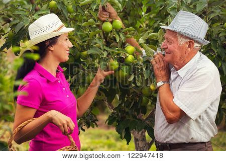 Young woman help an old man in the orchard to pick apples
