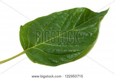 Spring Leaf Isolated On White