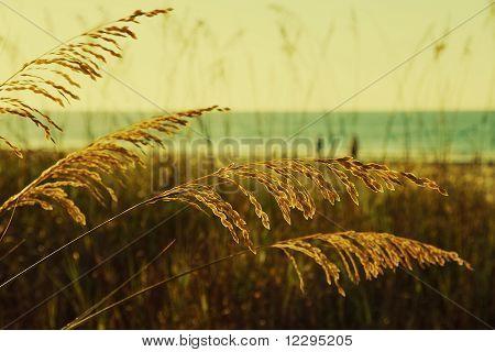 Golden Sea Oats