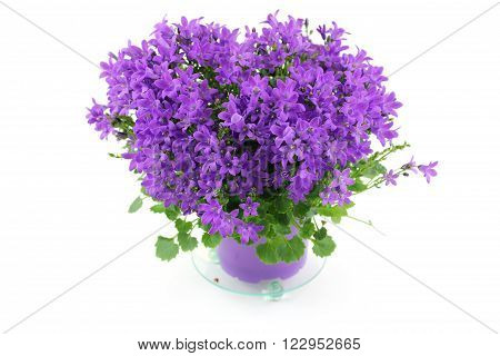 Beautiful campanula with ribbon - bellflower on the white background.