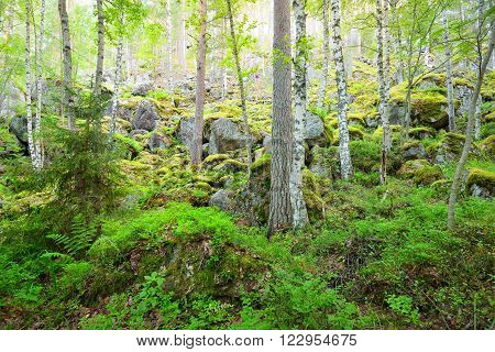 Boreal birch tree forest on granite rocks and canyons in Finland
