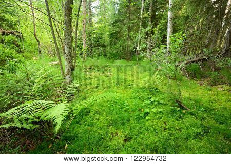 Lush green mosses in a pine tree landscape in a northern forest