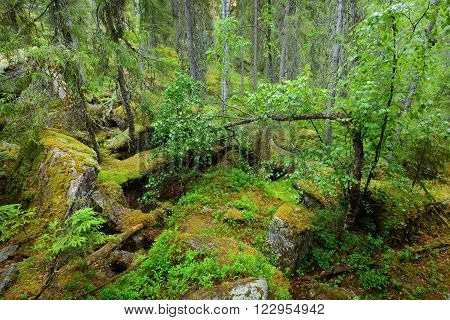 Forest On Granite Rocks And Canyons In Finland