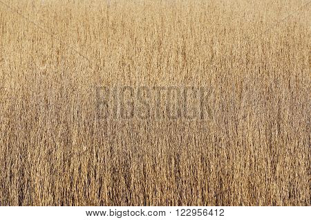Phragmites sp. pattern. Beige grain grasses on a meadow.